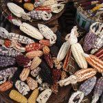 Diversidade do milho