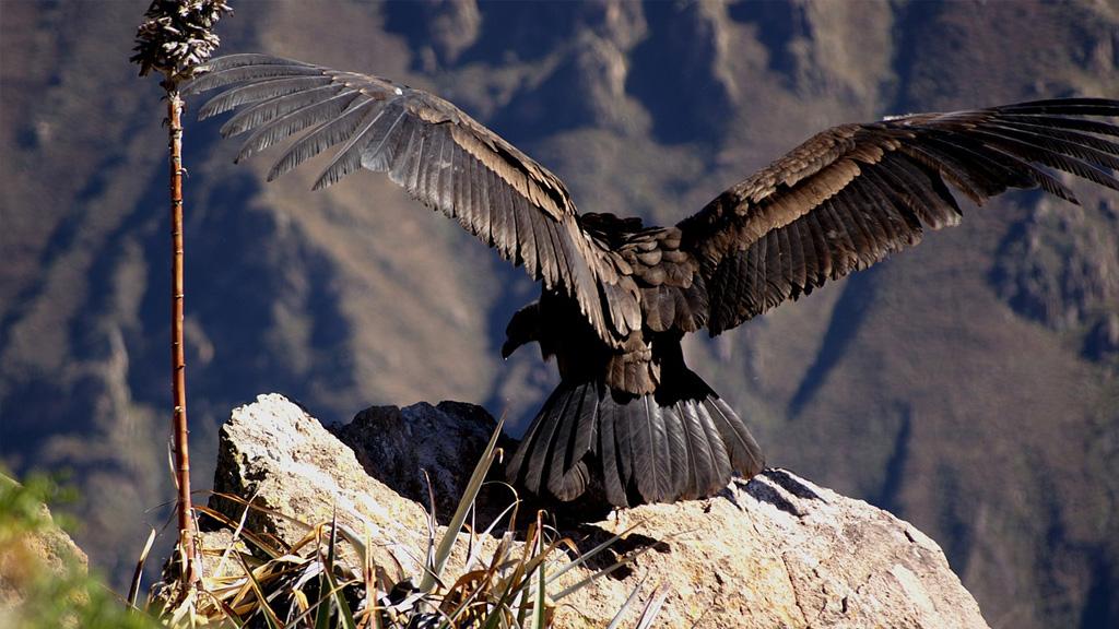Blog Viagens Machu Picchu_Peru_Chivay_Condor_Canion_do_Colca