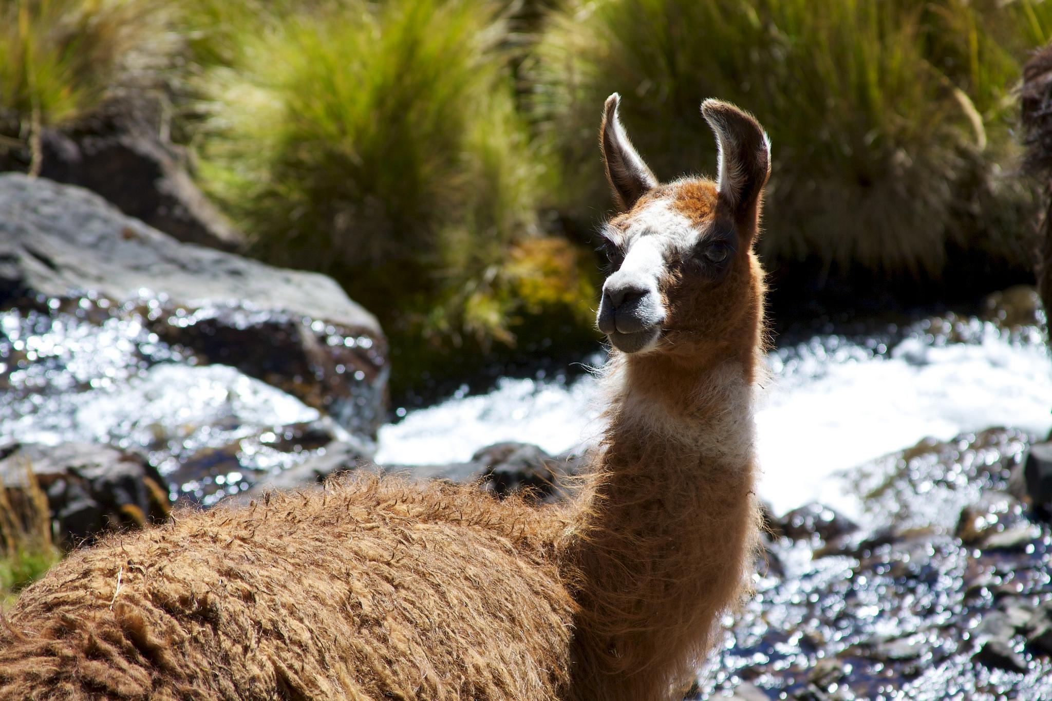 Trilha Lares: mais uma trilha inca que leva a Machu Picchu