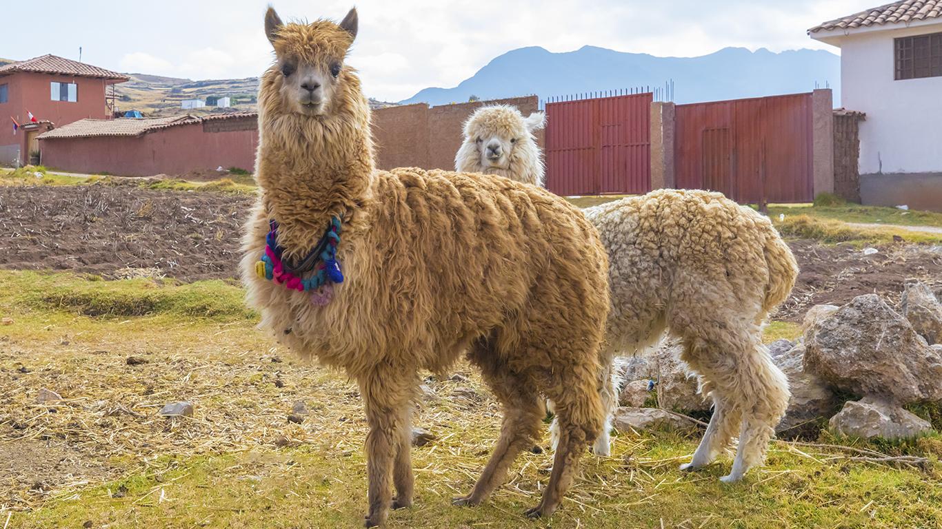 Os camelídeos sul-americanos